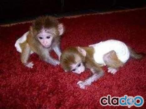 Monos mascota en venta