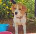 Beagle extraviada
