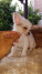 Mini juguete chihuahua
