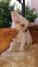 02 cachorros de pura raza chihuahua (83 días) 7